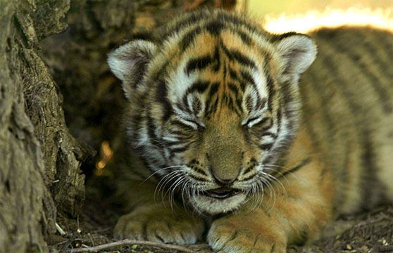 Save Tiger Images Tiger Cubs at Save China's