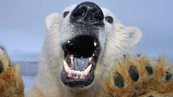 Polar bear up close
