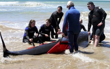 Pilot whale rescue in Tasmania, Australia
