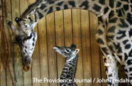 Newborn giraffe at Providence zoo