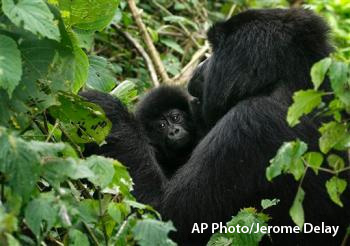 Mountain gorilla and baby gorilla