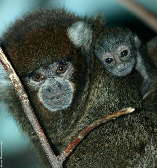 Baby Bolivian titi monkey at Bronx Zoo