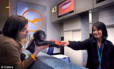 Bili the bonobo at airport