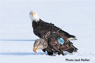 Bald eagle - Stephen Colbert Jr.