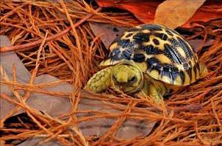 Endangered Burmese star tortoise hatchling