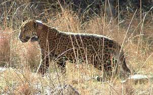 Jaguar in Arizona