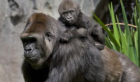 Frank - baby western lowland gorilla