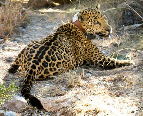 Macho B, the Arizona jaguar