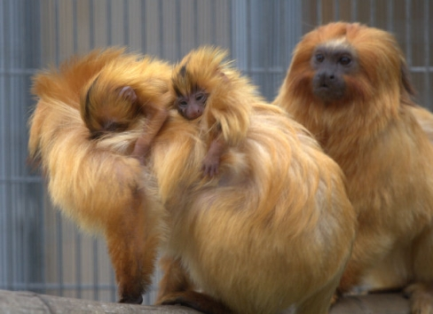 Golden-lion tamarin babies at the Santa Ana Zoo