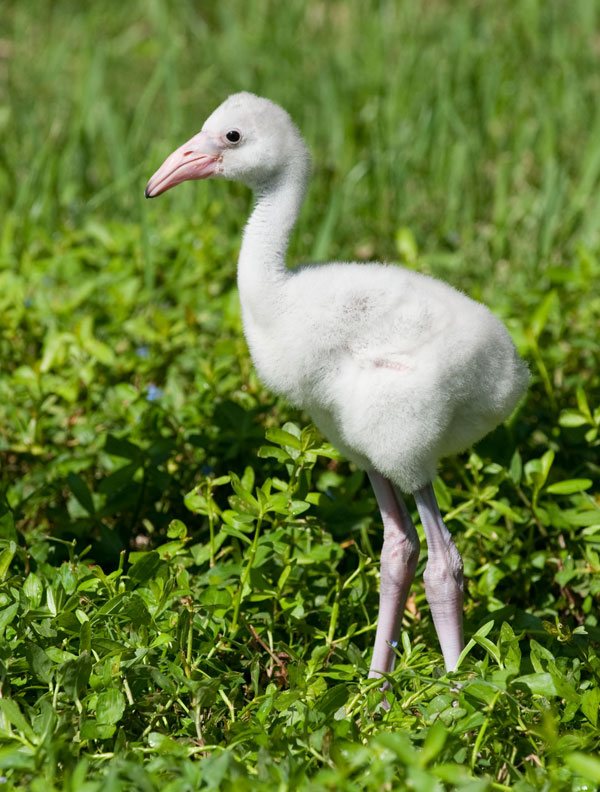 Walker, the baby flamingo