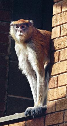 Julie, world's oldest patas monkey