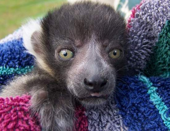 Baby black and white ruffed lemur
