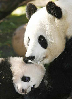 Bai Yun, a giant panda living at the San Diego Zoo