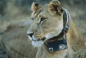 Lioness wearing Crittercam