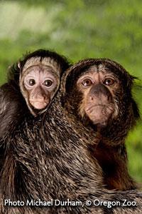 White-faced saki monkeys