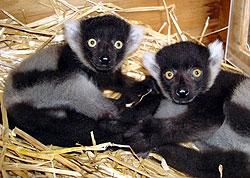 lemur_twins