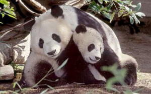 Bai Yun, a giant panda, and her cub