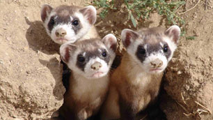 black-footed-ferret09062
