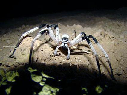 Cerbalus aravensis spider
