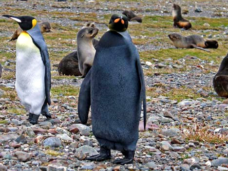 All-black king penguin