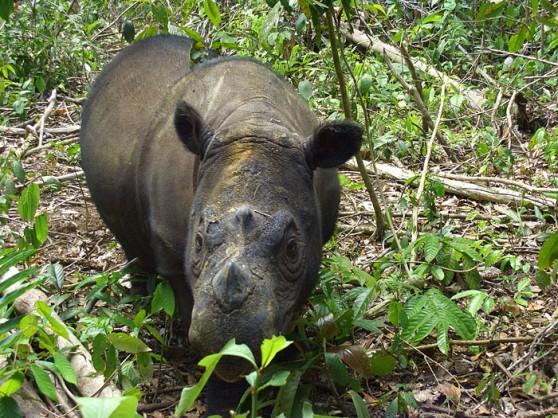 Ratu the Sumatran rhino