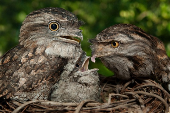 Tawny Frogmouth chick at SeaWorld