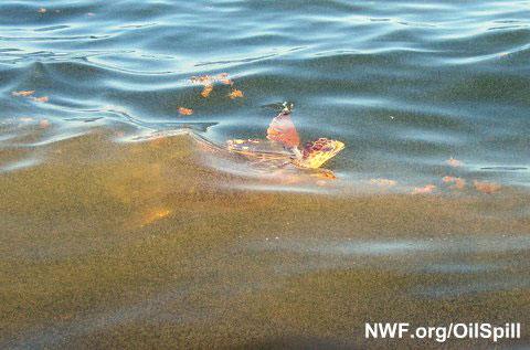 Sea turtle surfaces in the Gulf Coast oil spill (Venice, Louisiana).