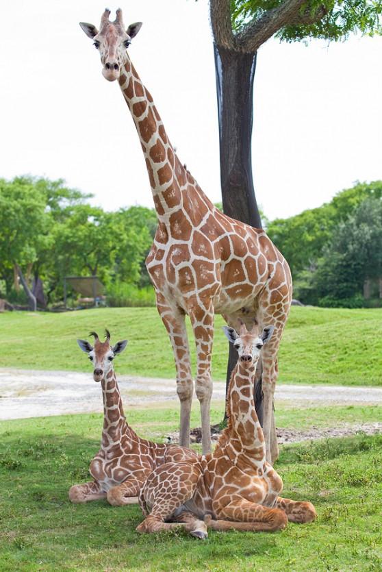 Baby giraffes at Busch Gardens Tampa Bay