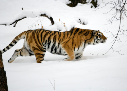 Amur tiger on the prowl.