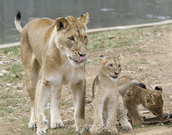 Lioness and cubs at National Zoo