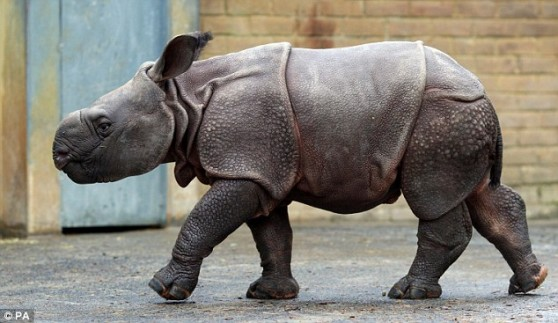 Baby rhino at Whipsnade Zoo
