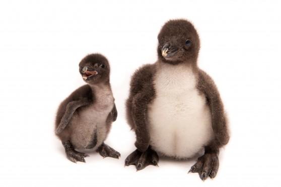 Baby Rockhopper Penguins at Sea World - Animal Fact Guide
