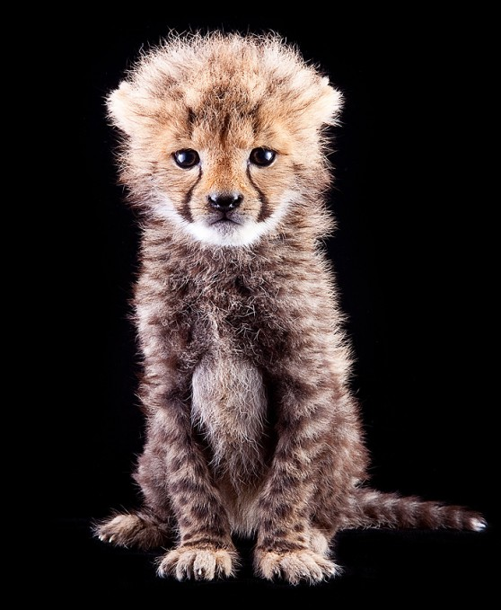 Image Result For Baby Cheetah At Busch Gardens