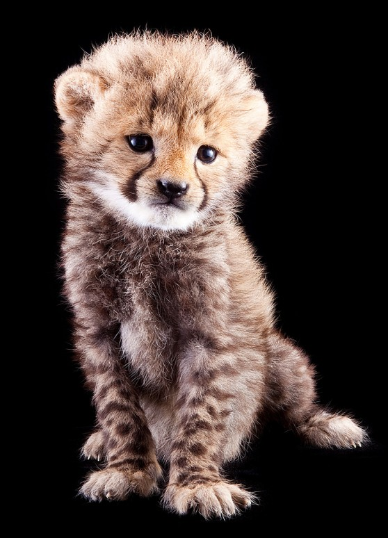 Baby cheetah at Busch Gardens