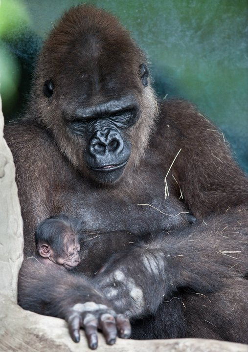 Baby gorilla and mom at Miami Metro Zoo