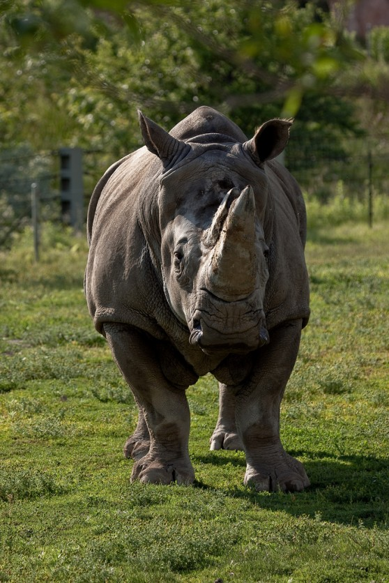 Rhino at Toronto Zoo