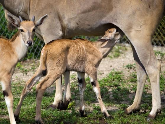 Eland calf at Busch Gardens, Tampa Bay