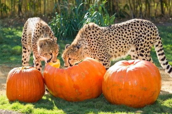 Cheetahs investigating pumpkins
