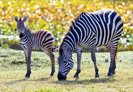 Baby Grevy's Zebra at Busch Gardens