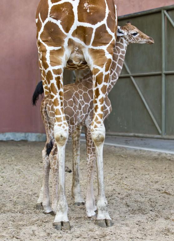 Sidste nye Baby Giraffe at Busch Gardens Tampa Bay - Animal Fact Guide DH-81