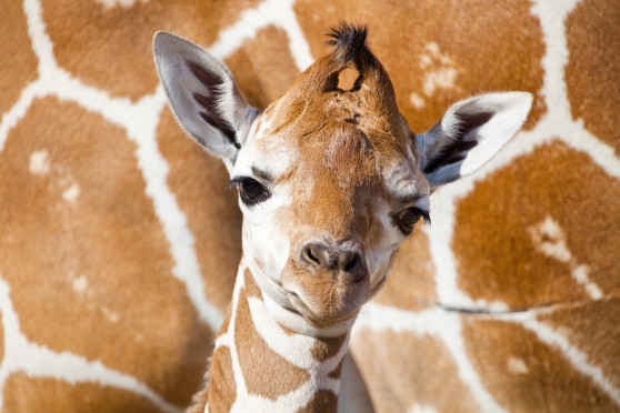 Baby giraffe at Busch Gardens