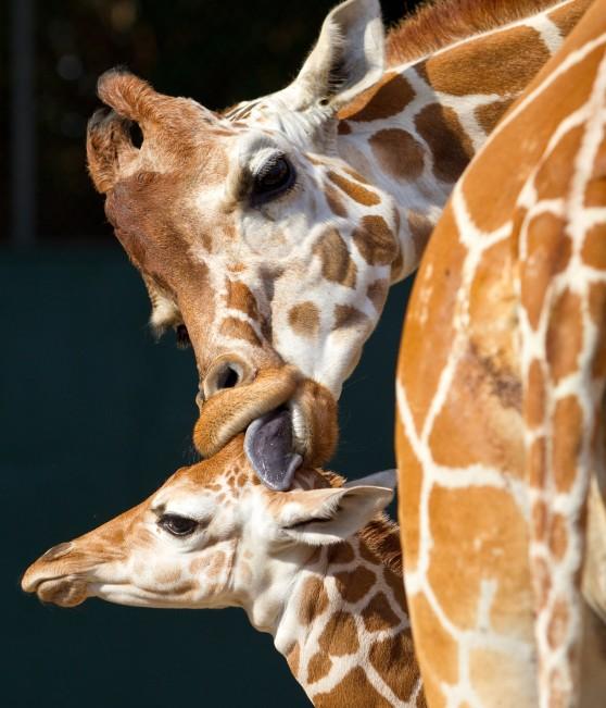 Baby giraffe and mother at Busch Gardens