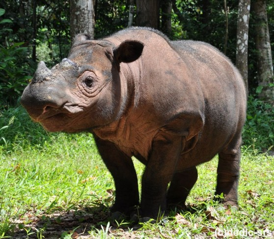 Ratu the Sumatran rhino