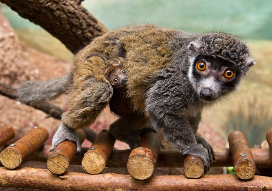 Mongoose lemur and baby