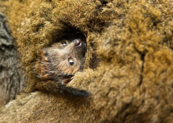 Mongoose lemur baby