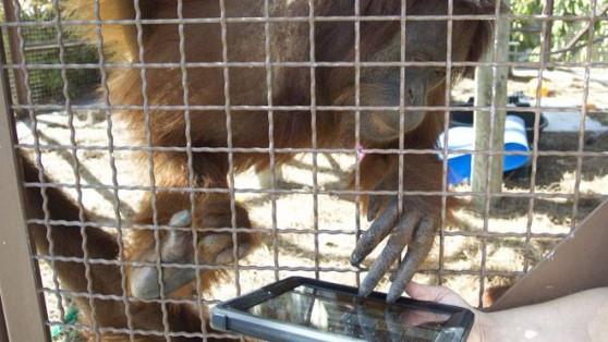 Orangutan using iPad