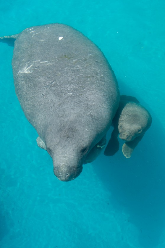 Rescued manatee and calf