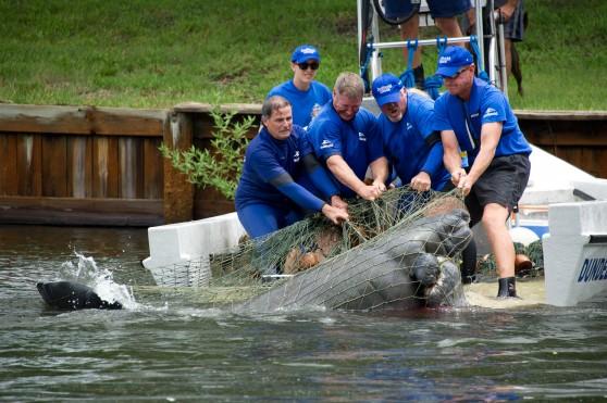 SeaWorld rescuing manatee