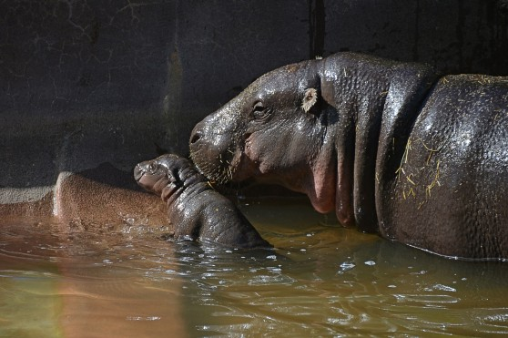 Baby pygmy hippo and mother