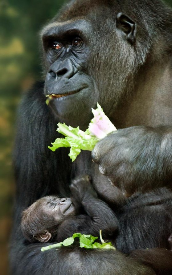 Mother and daughter gorilla
